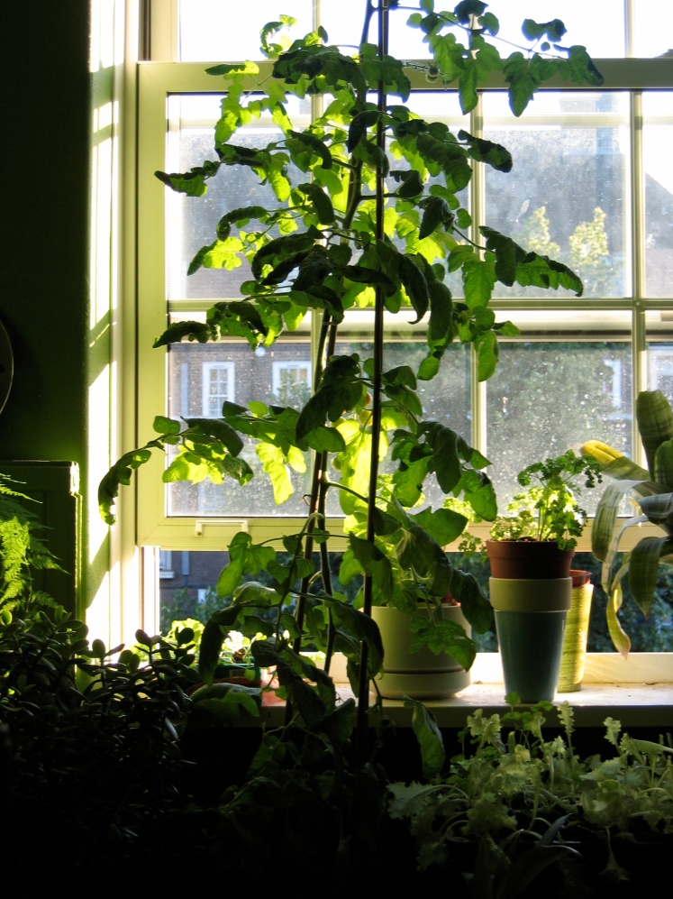 Tomatoes in the living room
